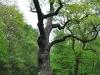 Oldřichův dub v Peruci